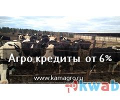КРС Казахской Белоголовой породы