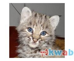 Продам котят Канадской рыси и Европейской рыси.В хорошие руки