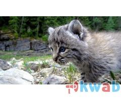 Продам красивых котят РЫСИ!!!