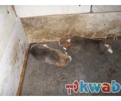 Наступило время продавать щенков красавцев кобельков вельш корги пемброк