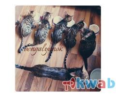 Продажа бенгальских котят