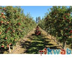Требуются рабочие на сбор урожая (яблоки)