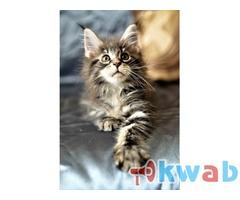 Клубный котенок Мейн Кун
